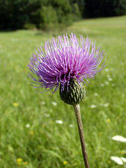 Summer, Meadow, Thistle, Wild Flowers, Blossoming