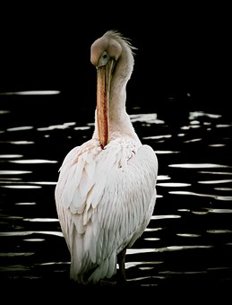 Pelican, Bird, Nature, Animal, Beak, Wildlife, Wild