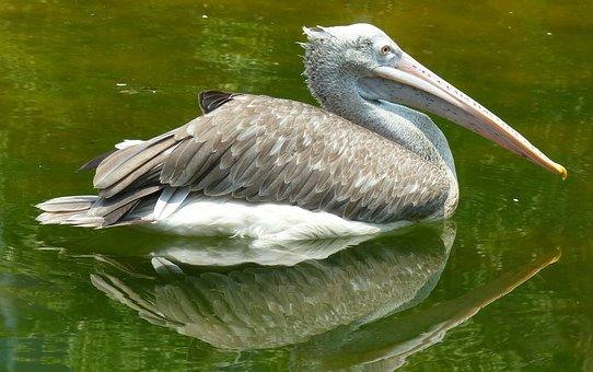 Pelican, Bird, Nature, Wildlife, White, Pelecanus, Lake