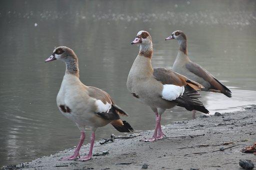 Ducks, Bird, Water, Nature, Wing, Animal, Beak, Lake