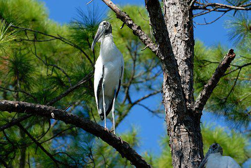Wood Stork, Stork, Bird, Wildlife, Avian, Marsh Land