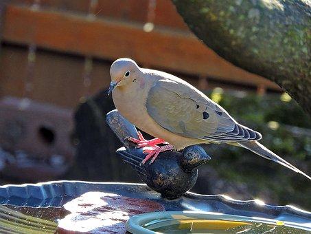Mourning Dove, Dove, Bird, Zenaida Macroura, Columbidae