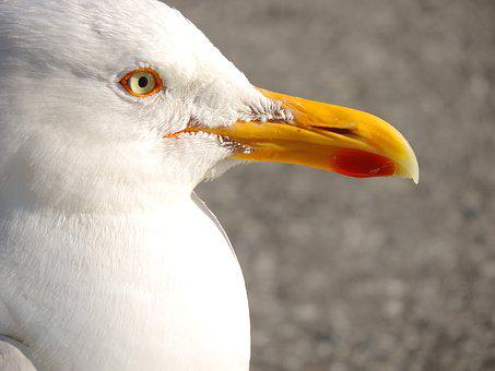 Seagull, Seevogel, Herring Gull, Bird, Animal, Coast
