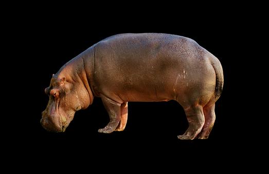 Hippopotamus, Hippo, Mammal, Zoo, Africa, Animal World