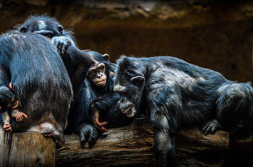 Chimps, Ape, Animal, Zoo, Primate, Apes, Animal World