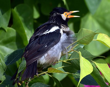 Pied Myna, Bird, Orange Beak, Asian Pied Starling