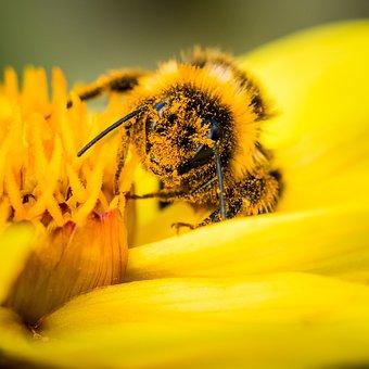 Bee, Pollen, Bumblebee, Collecting, Flower, Bloom