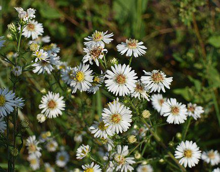White Aster, Wildflower, Flower, Blossom, Bloom, Plant