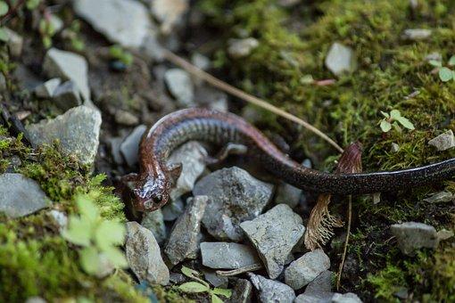 Newt, Wildlife, Closeup, Bug, Salamander, Nature
