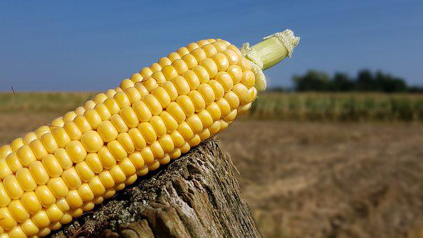 Corn, Corn On The Cob, Corn Harvest, Corn Plant