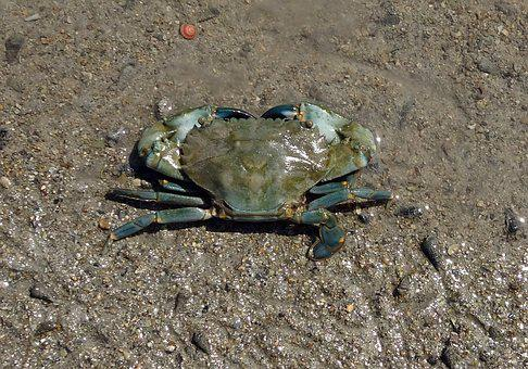 Mud Crab, Crab, Scylla Serrata, Mangrove Crab