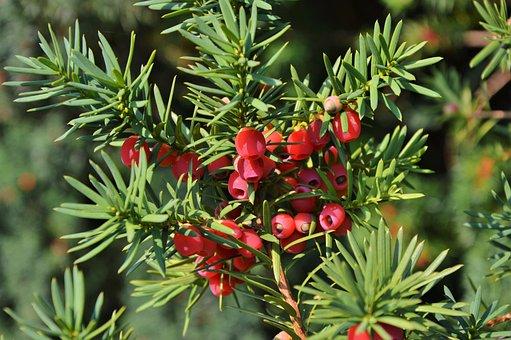 Yew, Bush, Fruit, Yew Fruit, Evergreen, Plant, Seeds