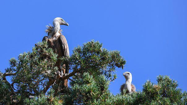 Vulture, Raptor, Bird, Griffon Vulture, Sky, Scavenger