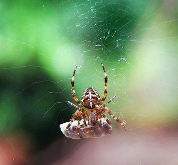 Araneus, Prey, Cocooned, Cobweb, Caught, Kill