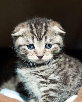 Scotish Fold, Cat, Kitten, Kittens, Striped, Fluffy
