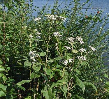 All Boneset, Flower, Wildflower, Blossom, Bloom, Plant
