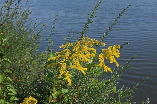 Goldenrod At Lakeside, Flower, Blossom, Bloom, Plant