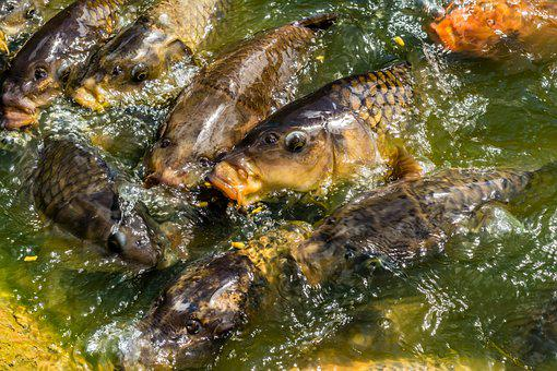 Carp, Koi, Fish, Feeding, Hungry, Pond, Lake, Greedy