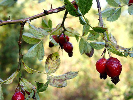 Rose Hip, Autumn, Nature, Thorn, Red, Bush, Plant