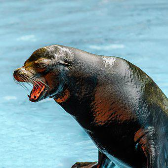 Sea Lion, Tenerife, Animal, Marine Mammals, Shiny