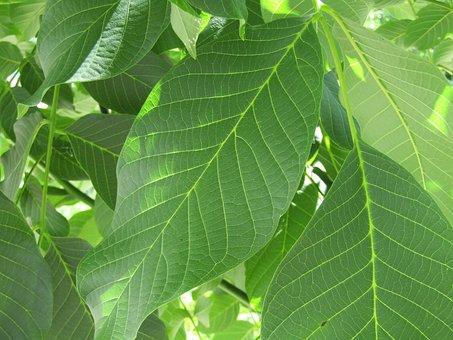 Sheet, Green, Sheet Walnut, Closeup, Plant, Foliage