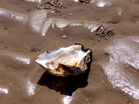 Seashell, Shellfish, Oyster, Shell, Sea Animals, Nature