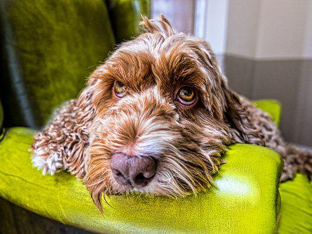 Dog, Eyes, Face, Nose, Sofa, Couch, Armchair