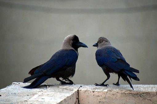 Two Crows, Pair, Corvus, Birds