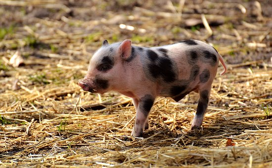 Piglet, Wildpark Poing, Young Animals, Pig, Small