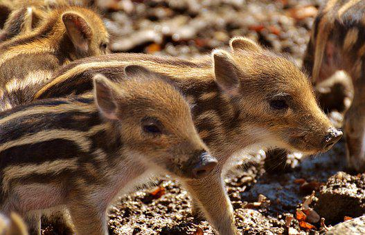 Wild Pigs, Little Pig, Wildpark Poing, Young Animals