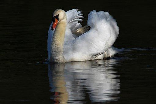 Swan, White, Pond, Majestic, Animal, Water, Animals