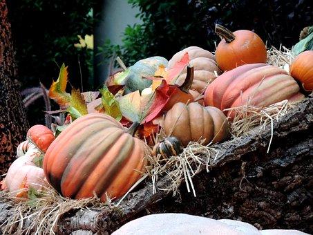 Pumpkin Patch, Fall Harvest, Autumn, Ripe, Patch