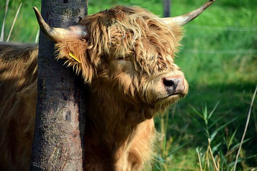 Beef, Galloway, Galloway Beef, Agriculture, Livestock