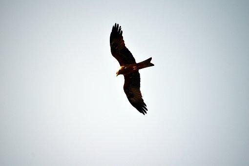 Black Kite, Raptor, Flying, Bird, Gliding