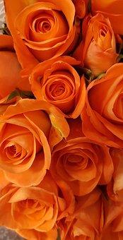 Roses, Orange, Blossom, Bloom, Flower, Orange Rose