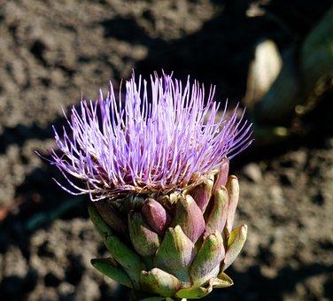 Blossom, Bloom, Artichoke Flower, Purple Flower, Garden