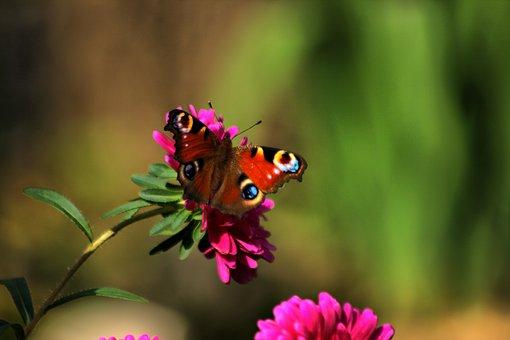 Butterfly, Butterflies łuskoskrzydłe, Nature