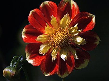 Dahlia, Blossom, Bloom, Dahlia Garden, Flower