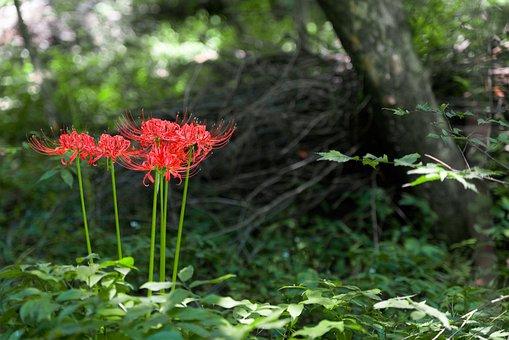 Flowers For, Xishan, Lycoris Squamigera, Nature, Garden