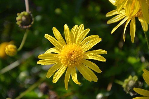 Yellow Flowers, Petals, Droplets, Rain Water, Flower