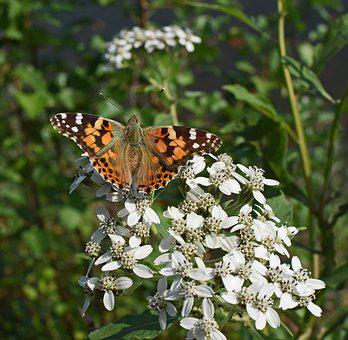 American Lady Butterfly, Insect, Pollinator, Animal