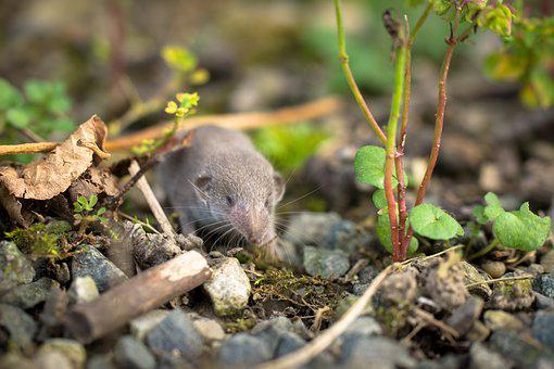 Shrew, Mouse, Animal, Rodent, Nature, Sweet, Grey Brown