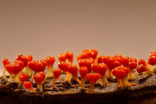 Slime Mold, Trichia Decipiens, Single Celled Organisms