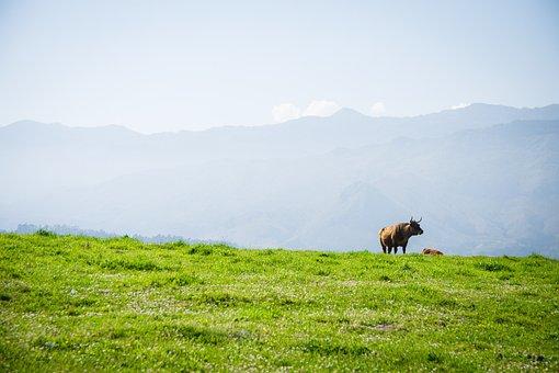 Spanish, Cow, Bull, Llanes, Peak Of Europe, Spain