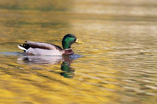 Duck, Mallard, Pond, Water, Plumage, Wing, Wild Duck