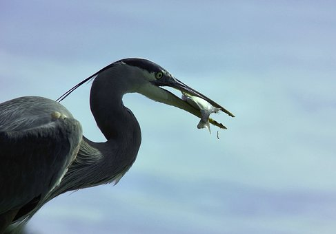Heron, Great-blue, Great, Blue, Wildlife, Nature, Beak