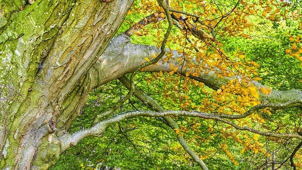 Beech, Beech Wood, Autumn, Forest, Trees, Nature