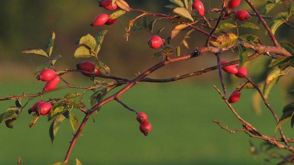 Hip, Blackthorn, Red, Fetus, Branch, Tea, Rose Hips