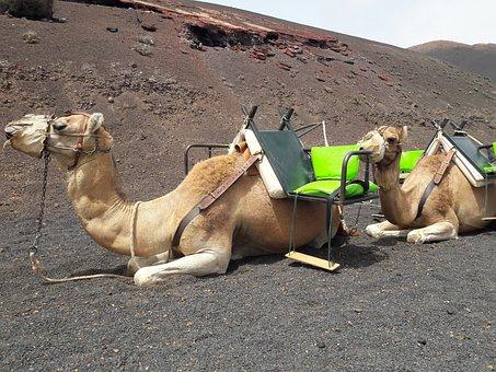 Camel, Camel Canary, Dromedary