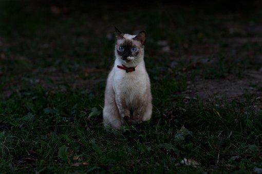 Cat, Burmese, Blue Eyes, Nice